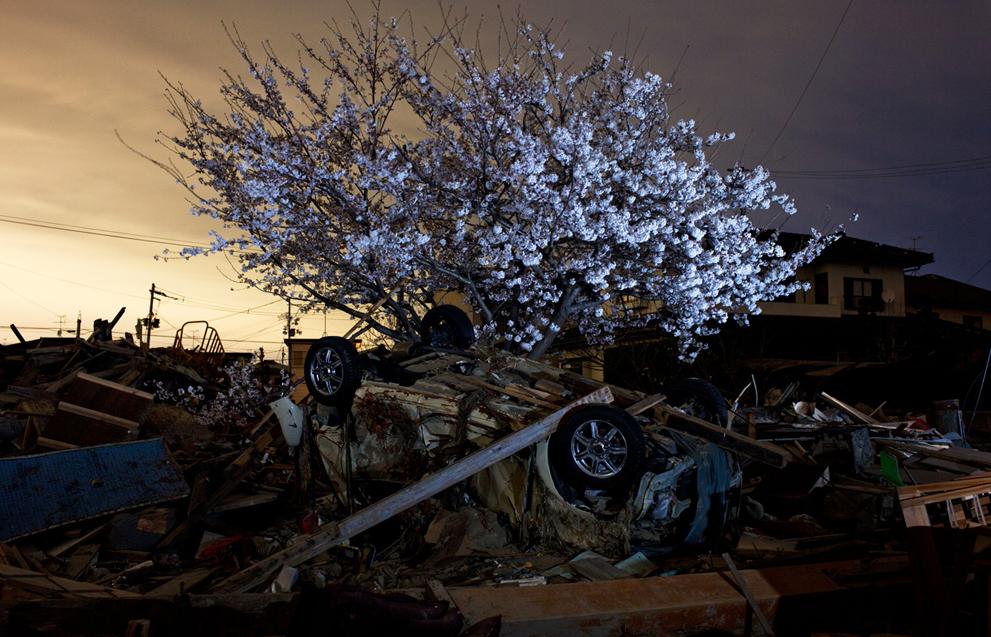 YasuyoshiC Cherry Blossom.jpg